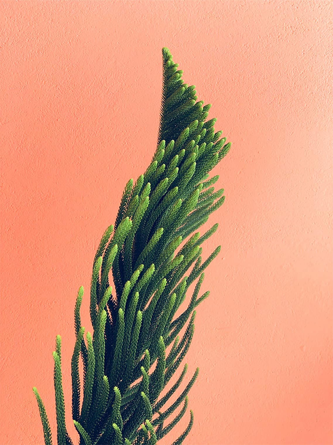 Immergrüne Pflanze vor hellem Hintergrund