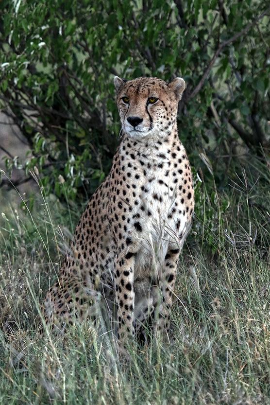 Der Gepard steht für schnelle Ergebnisse von Social Media Kampagnen